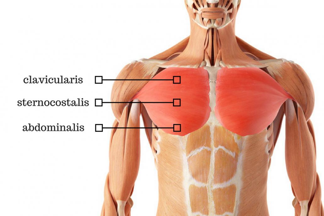 Anatomie van de Borstspieren
