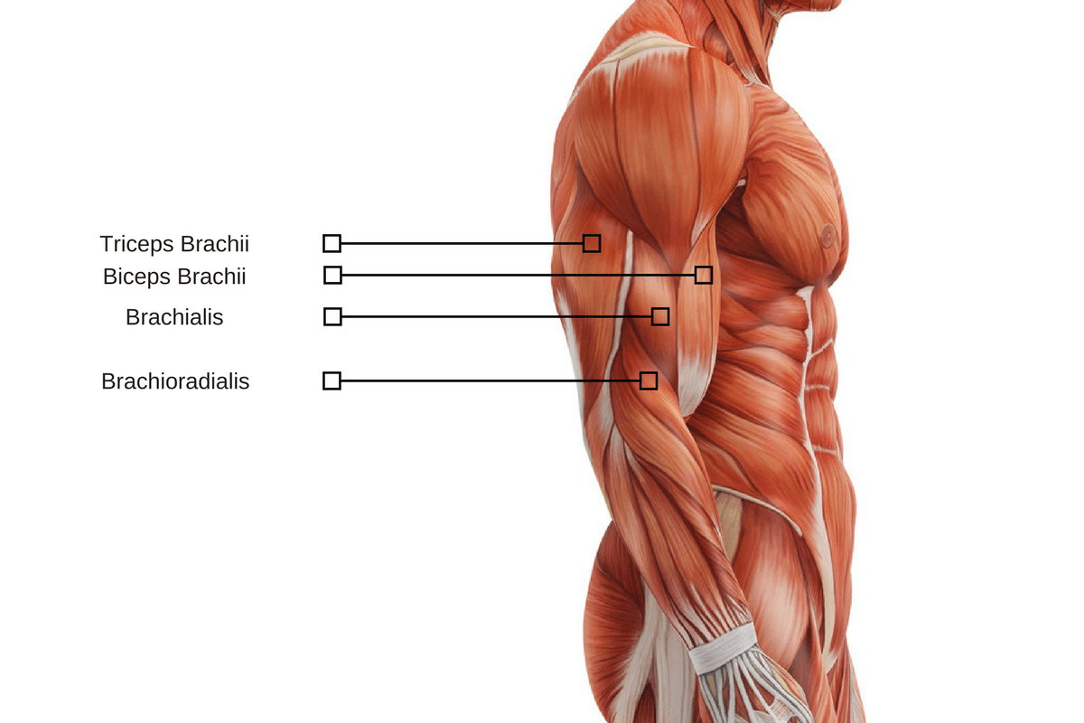 Biceps And Triceps Location Imagenesmy