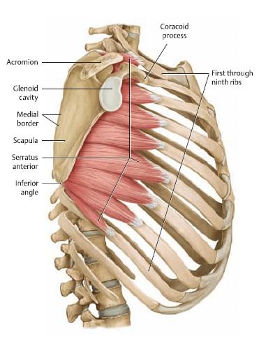 serratus anterior zaagspier